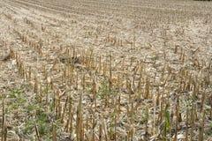 Maisfeld nach der Ernte Stockfoto