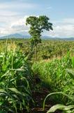 Maisfeld und -baum im Ackerland auf Hochebene, Thailand Lizenzfreies Stockfoto
