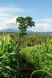 Maisfeld und -baum im Ackerland auf Hochebene, Thailand Lizenzfreie Stockbilder