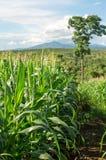 Maisfeld und -baum im Ackerland auf Hochebene, Thailand Lizenzfreie Stockfotos