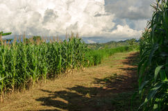 Maisfeld und -baum im Ackerland auf Hochebene, Thailand Stockfoto
