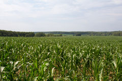 Maisfeld und Baumlandschaft Lizenzfreies Stockbild