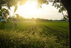 Maisfeld und ein Sonnenuntergang, eine Ansicht von einem Apfelbaum nahe der Straße Lizenzfreies Stockbild