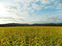 Maisfeld und -hügel Stockfoto