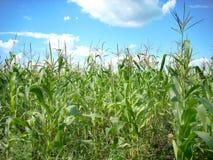 Maisfeld und Himmellandschaft Lizenzfreies Stockfoto