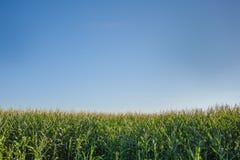 Maisfeld unter blauem Himmel stockbild