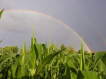Maisfeld unter dem Regenbogen lizenzfreies stockfoto