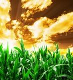 Maisfeld unter stürmischem Himmel Stockfotografie