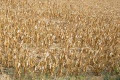 Maisfeld verwüstet durch Dürre Ein Symbol des Klimawandels lizenzfreies stockbild