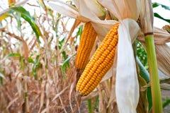 Maisfeld vor Ernte lizenzfreies stockbild