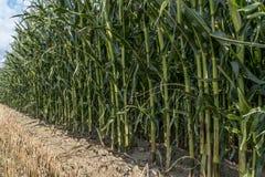 Maisfeld vor Ernte auf Ackerland Lizenzfreies Stockbild