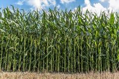 Maisfeld vor Ernte auf Ackerland - Vorderansicht Stockbilder