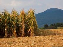 Maisfeld während des Herbstes Stockbilder