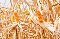Maisfeld zur Erntezeit Stockfotografie