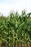Maisfeld zur Erntezeit Stockfotos