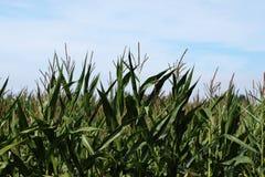 Maisfeld zur Erntezeit Lizenzfreies Stockbild