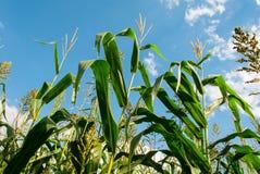 Maisfeldabschluß verlässt oben Stockbild