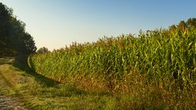 Maisfeldansicht über Sonnenaufgang stockfotografie