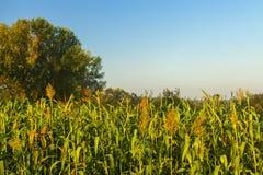Maisfeldansicht über Sonnenaufgang lizenzfreie stockfotografie