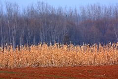 Maisfelder Lizenzfreie Stockfotos