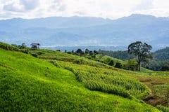 Maisfelder in einer bewölkten Beleuchtung der Regenzeit Stockfoto