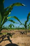 Maisfeldwachsen lizenzfreie stockfotos