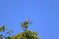 Maisflaggenvogel durch Kerkini See. Stockfotografie