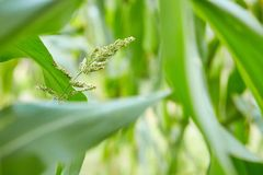MaisGetreideanbau auf Feld Maisblüte lizenzfreie stockbilder