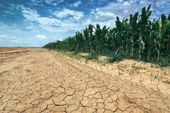 MaisGetreideanbau in Dürrenzuständen Stockfotografie