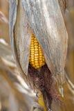 Maiskolben auf dem Gebiet Kornähre in Autumn Before Harvest Agriculture Concept Lizenzfreies Stockfoto