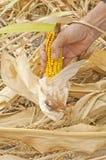 Maiskolben in der Hand Lizenzfreie Stockfotos