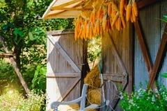 Maiskolben, die hängen, um mit Hintergrund des alten Fensters zu trocknen Abbildung der roten Lilie Stockfotografie
