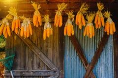 Maiskolben, die hängen, um mit Hintergrund des alten Fensters zu trocknen Abbildung der roten Lilie Lizenzfreie Stockbilder