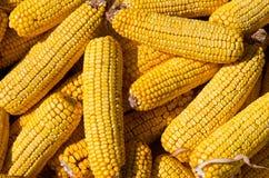 Maiskolben Maissamen Lizenzfreie Stockbilder