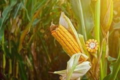 Maiskolben, reif, voll vom Korn auf dem Gebiet, bevor dem Ernten stockfoto