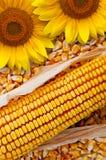 Maiskolben und Sonnenblume Stockbild