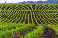 Maislandwirtschaftsfeld für die Herstellung des Popcorns Stockfoto