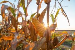 MaisMaiskolben reif auf Feldhintergrundbeleuchtung durch das Seting Sonne lizenzfreie stockfotografie