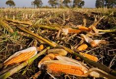 Maisohren gelassen auf Feld Stockbilder