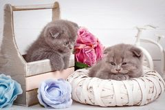 Maison, calme et concept d'amour - deux chats de pli d'écossais tombent endormi Photos stock