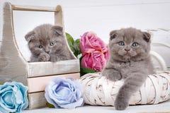 Maison, calme et concept d'amour - deux chats de pli d'écossais tombent endormi Photographie stock libre de droits
