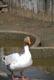 maison de canard Photos libres de droits