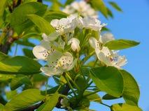 Maison de prune - domestica de Prunus de fleur Image libre de droits