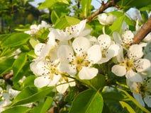 Maison de prune - domestica de Prunus de fleur Photographie stock