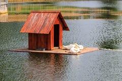 Maison en bois pour des cygnes sur un lac en parc de ville images libres de droits