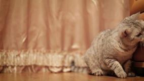 Maison mignonne de Cat Playing With Toy At banque de vidéos