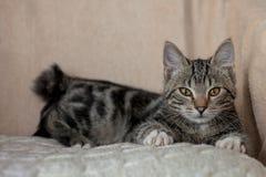 Maison mignonne espiègle de chat rayé gris Photos libres de droits
