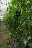 Maison verte énorme avec des rangées de l'élevage organique de poivrons Image stock