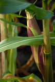 Maispflanze Stockfotografie