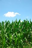 Maispflanze-Himmel stockfotos